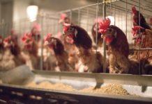 Prebiotici impattano su infezioni di Salmonella in allevamenti di polli