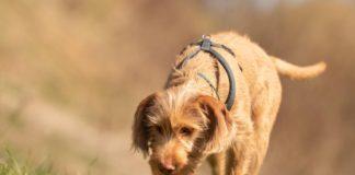 Microbiota intestinale dei cani e olfatto