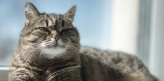 Il microbiota intestinale dei gatti cambia con l'età come nell'uomo