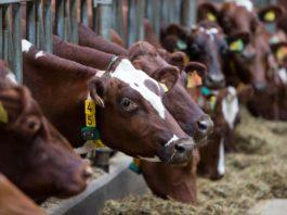 Vulvovaginite allevamenti bovini mucche e microbiota vaginale
