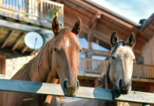 Microbiota intestinale nei cavalli obesi