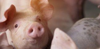 Suini: dieta ricca in fibre modifica il microbiota e riduce l'incidenza di diarrea