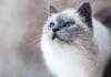 Gatto ragdoll - Prebiotici migliorano il microbiota intestinale