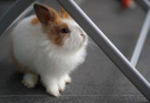 Enteriti nei conigli domestici: la disbiosi intestinale è correlata all'ambiente di vita