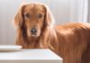 Cane golden retriever fibre microbiota