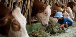 Bovini, foraggio vs cereali: ecco come la dieta influenza pH e microbiota gastrico