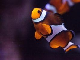 Pesce pagliacco: dieta e frequenza dei pasti modificano il microbioma?