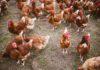 Allevamento di polli e probiotici lattobacilli