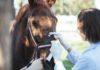 Veterinario cura ferita cavallo evitando infezione batteri