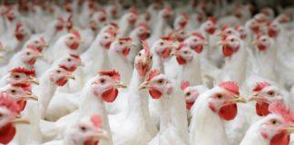 Effetti degli additivi fitogenici sul microbiota intestinale dei polli