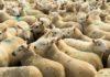 Allevamento ovini: impatto grassi su microbiota e digestione delle pecore