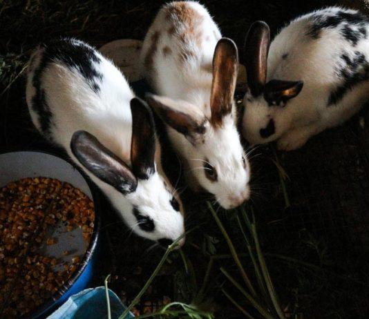 Microbiota intestinale dei conigli