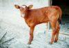 Conoscere la composizione del microbioma intestinale per migliorare la salute dei vitelli durante i primi mesi di vita