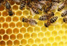 Cosa possiamo imparare studiando il microbiota intestinale delle api