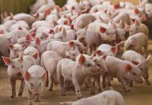 Sostituti dello zinco ossido come anti-diarroico nello svezzamento dei maialini