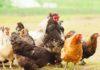 Grasso addominale nei polli: quanto conta il microbiota?
