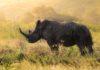 Rinoceronti neri: dalla relazione tra microbiota e fertilità una speranza contro l'estinzione
