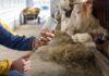 Ascesso epatico nei bovini: studio su postbiotici come alternativa agli antibiotici