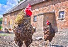 Polli: studio valuta effetti di tè verde e foglie di gelso sul microbiota intestinale
