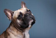 Infezione da C. difficile in bulldog francese: positivi i risultati del trapianto di microbiota