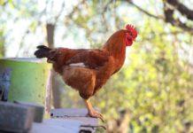 Ecco come additivi fitogenici e cereali modificano il microbioma dei polli
