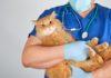 Patologia renale cronica nei gatti: scoperta correlazione con microbiota intestinale