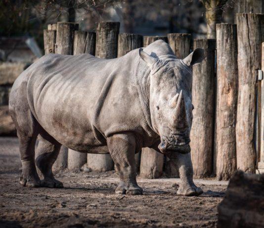 Rischio estinzione dei rinoceronti bianchi: nel microbioma intestinale possibile soluzione