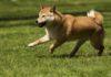 L'età influenza il microbioma intestinale dei cani