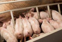 Maialini in svezzamento: individuati batteri cruciali per il passaggio al cibo solido