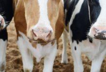 L'importanza del microbiota del rumine nella produzione di latte e carni