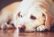 Diarrea nei cani: analisi metagenomica dimostra efficacia di un mix di probiotici