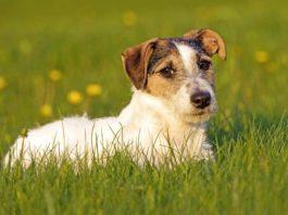 Enteropatia cronica nei cani: ruolo protettivo degli SFCA prodotti da batteri intestinali