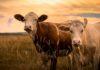 Microbioma ereditabile, produttività ed emissioni delle mucche da latte