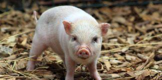 Micobioma nei suini: studio indaga il ruolo dei funghi nello svezzamento dei maialini