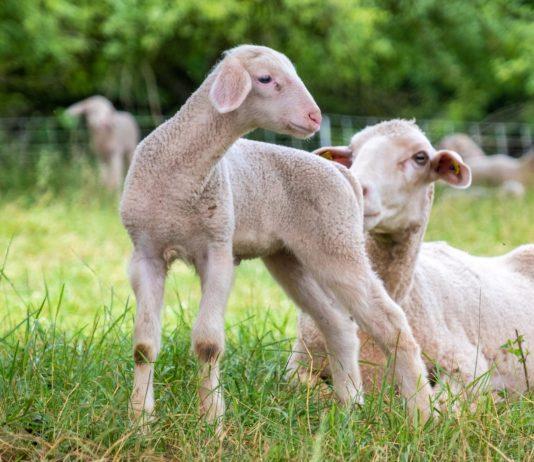 Enterite batterica negli ovini: scoperta correlazione con microbiota intestinale