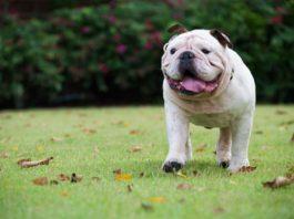 Cani diabetici: microbiota intestinale implicato nel metabolismo degli acidi biliari