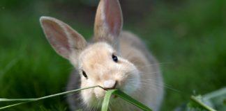 """L'erba medica disidratata """"aiuta"""" la maturazione del microbiota intestinale dei conigli giovani"""