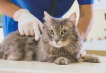 Microbiota intestinale dei gatti: possibile ruolo nelle infezioni da coronavirus