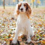 Lattulosio migliora il microbiota intestinale dei cani: possibile utilizzo nell'encefalopatia epatica
