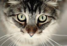 Congiuntivite del gatto: antibiotico topico non altera il microbiota oculare