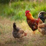 Enterite necrotica nei polli da C. perfingens: possibile ruolo del microbiota intestinale