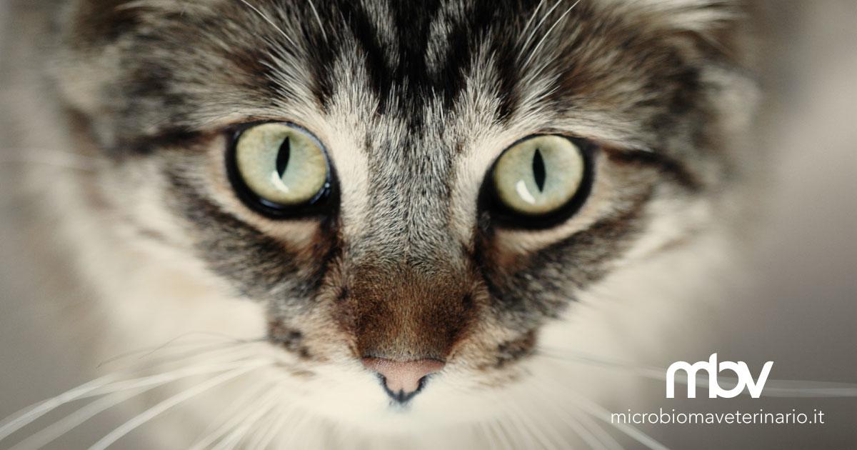 Congiuntivite Del Gatto Antibiotico Topico Non Altera Il Microbiota Oculare